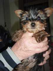 Cute and lovely Male and Female yorkie Puppies Text...315- 294-0844 /