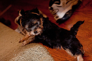 Home Raised Yorkie Puppy for Adoption