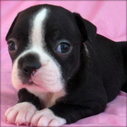 Zoey The female Boston Terrier Puppy For Sale