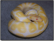 Ball Python for Adoption with everything