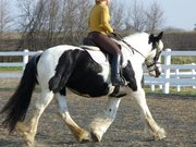 15.3hh Gypsy Vanner Mare for Adoption